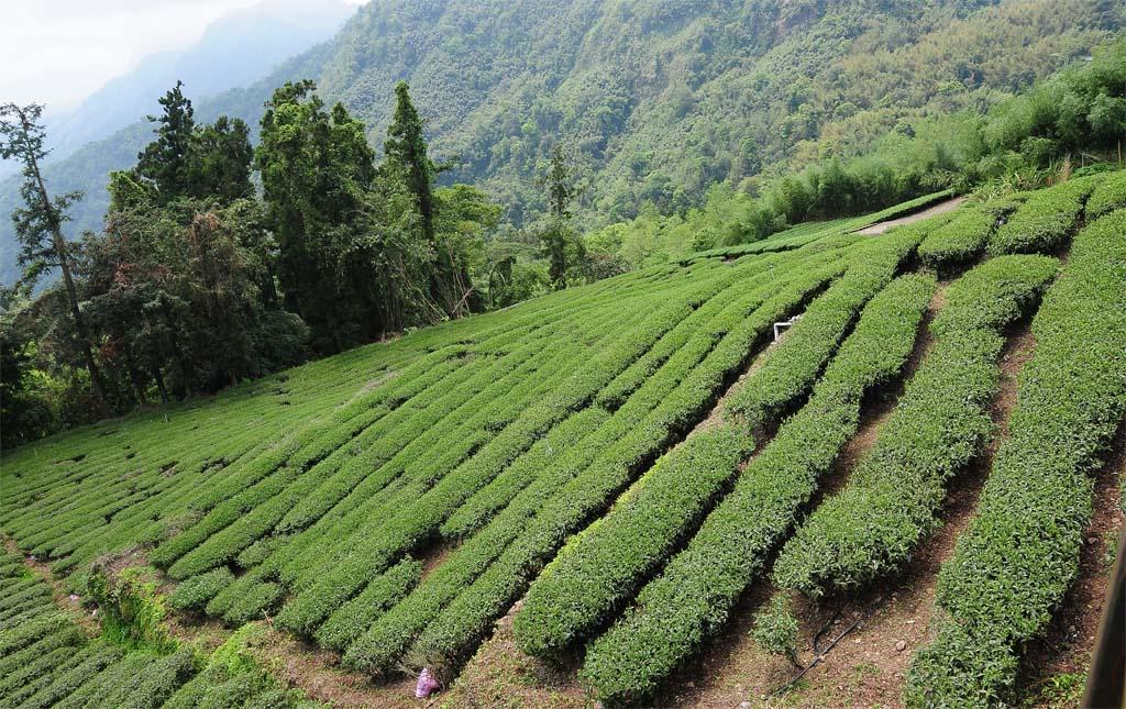 Alishan Tea Plantations