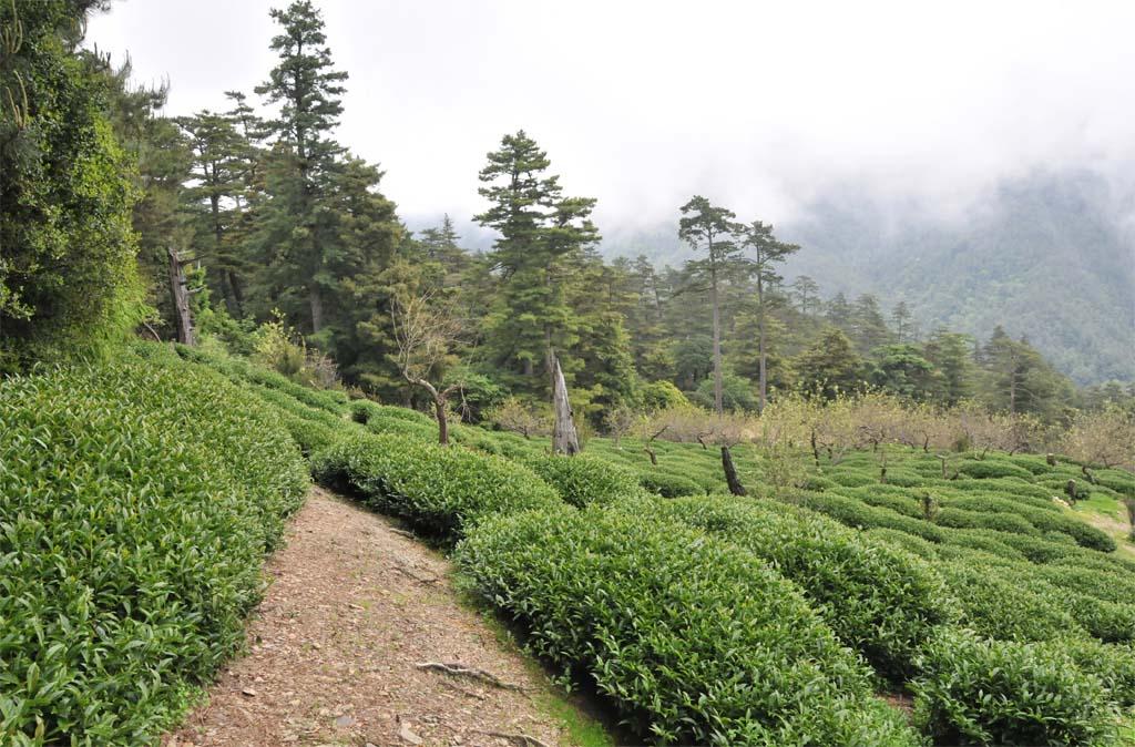 Dayuling Tea Plantation