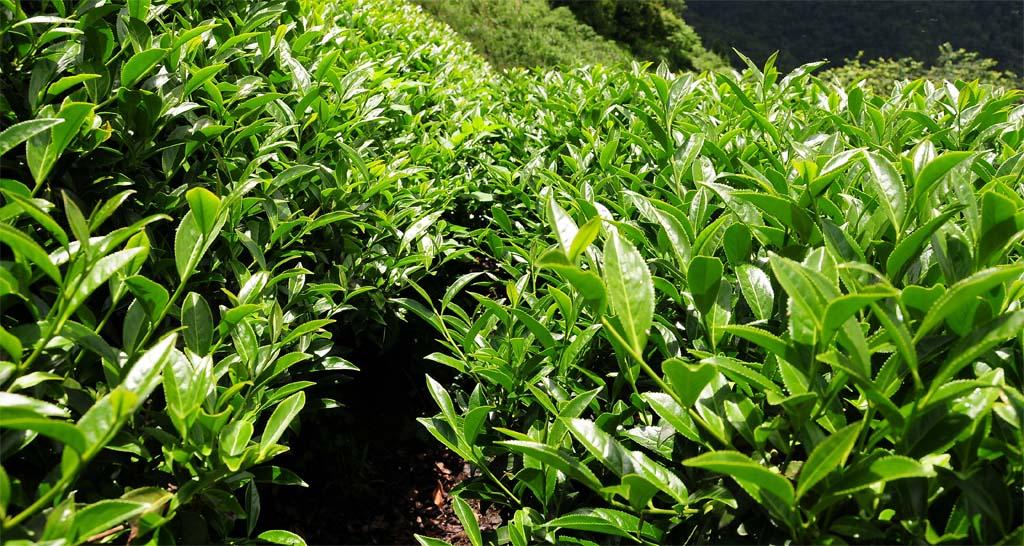Dong Ding Oolong Tea Plantation