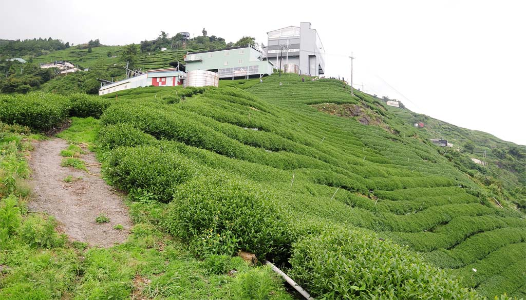 Formosa Oolong Tea