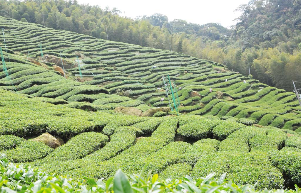 Four Seasons of Spring Oolong Tea