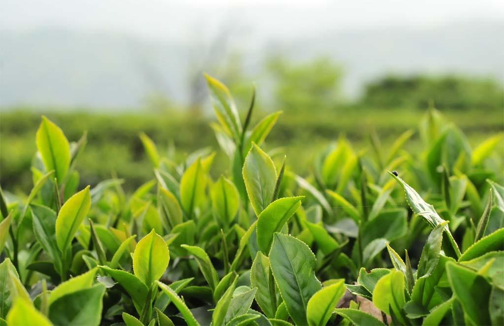 Honey Black Tea Plantion