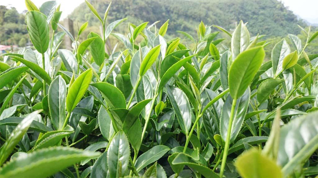 Iron Goddess Of Mercy Oolong Tea