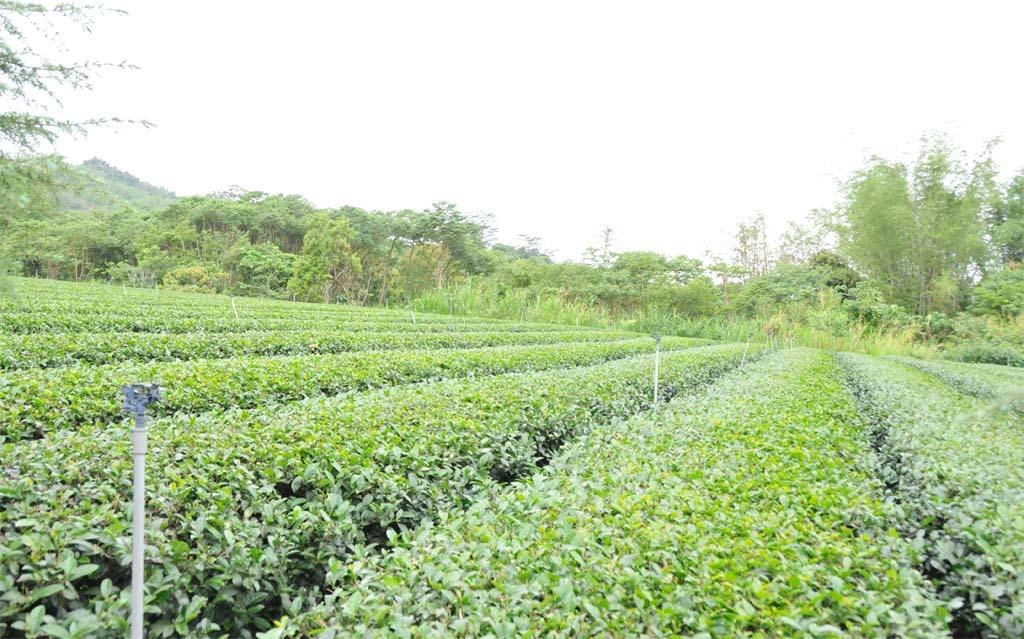 Jinxuan Oolong Tea Plantion