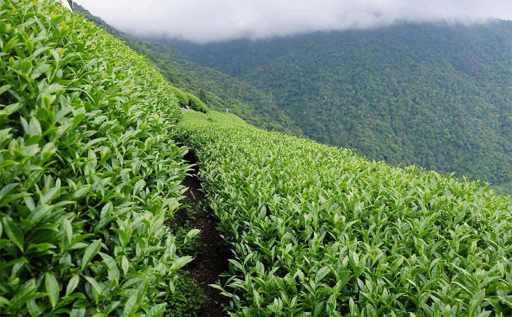 Pouchong Tea