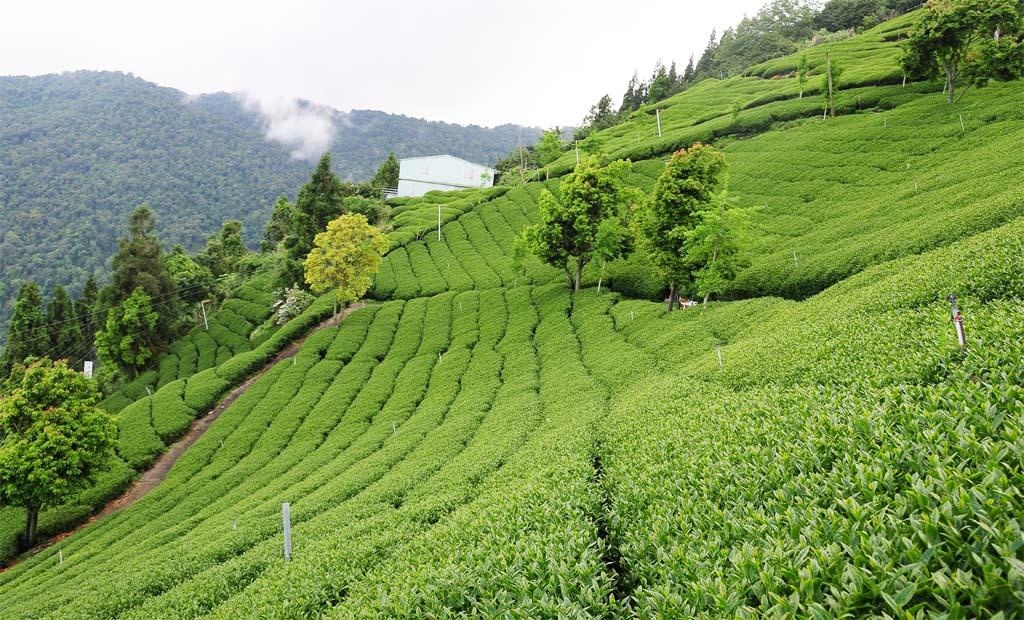 Taiwan Tea Plantion
