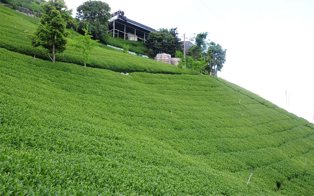 oolong tea plantation taiwan