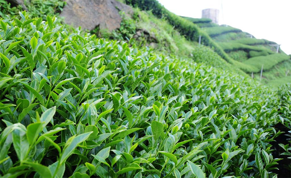 taiwan oolong tea tree
