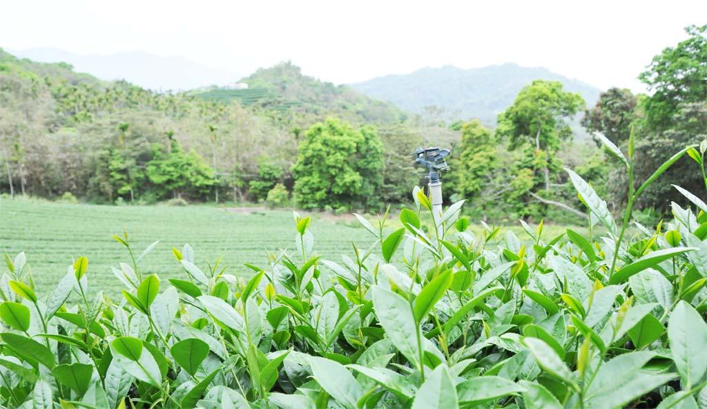 Tieguanyin tea plantation