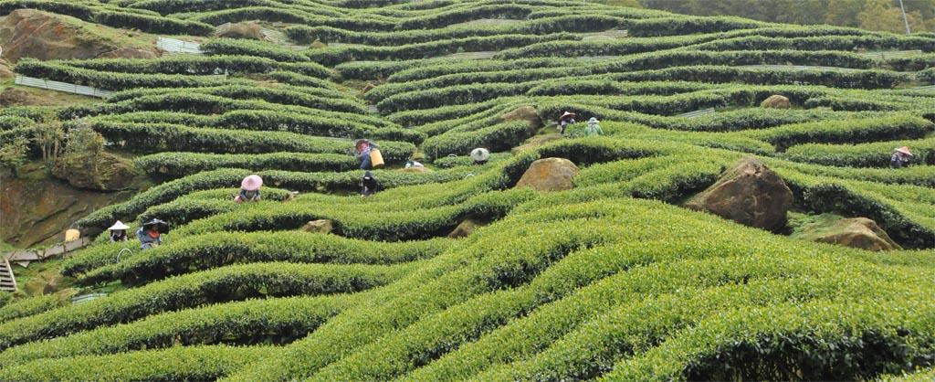 Da Hong Pao Oolong Tea Tree