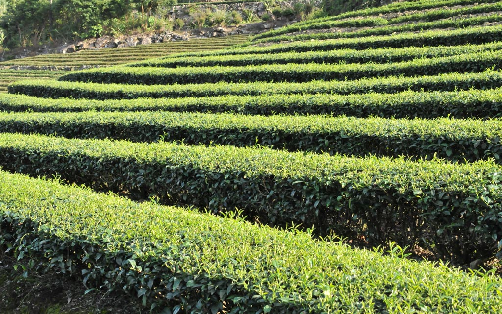 Wuyi Narcissus Oolong Tea