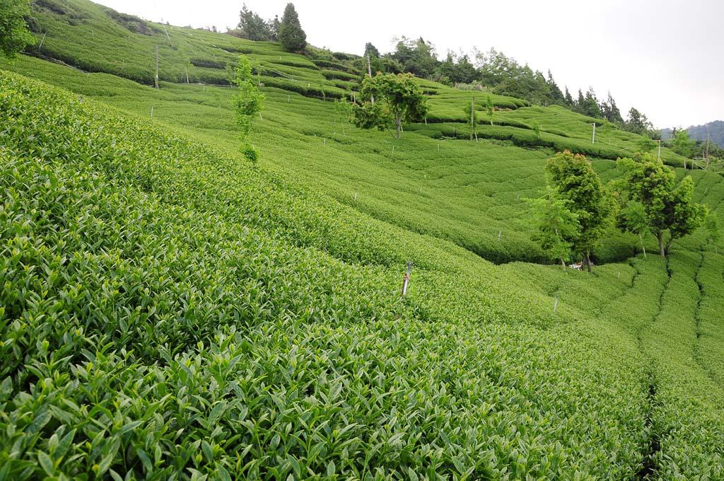 high mountain tea plantation