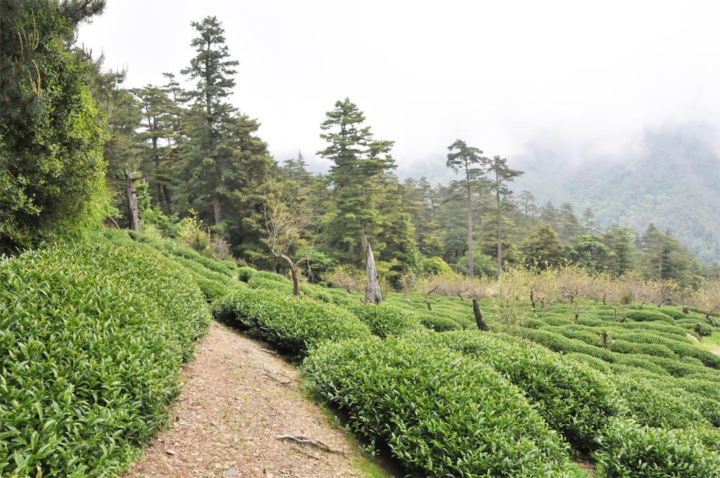 Taiwan Tea Plantation