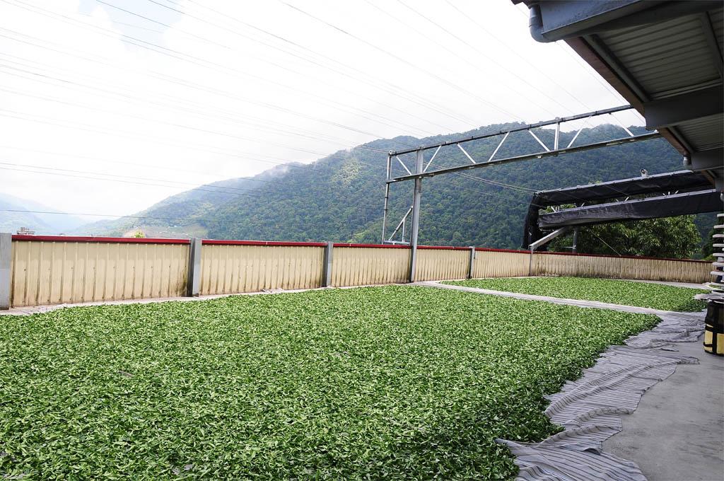 taiwan tea garden