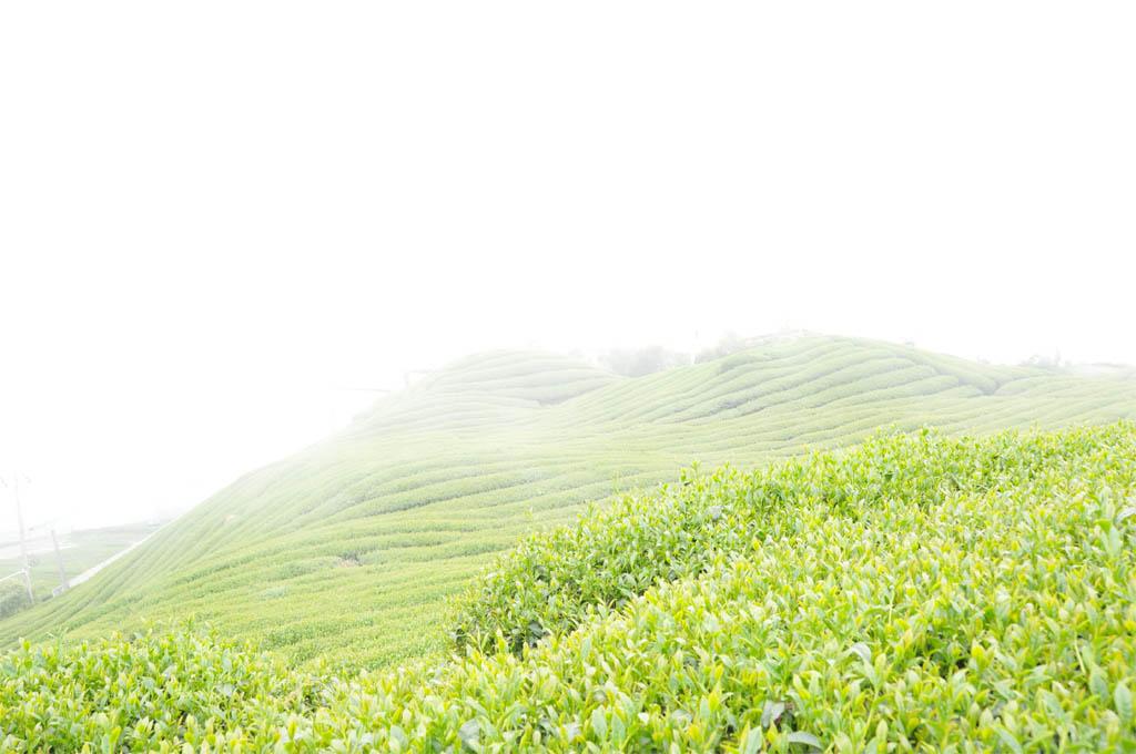 Taiwan High Mountain Oolong Tea Garden