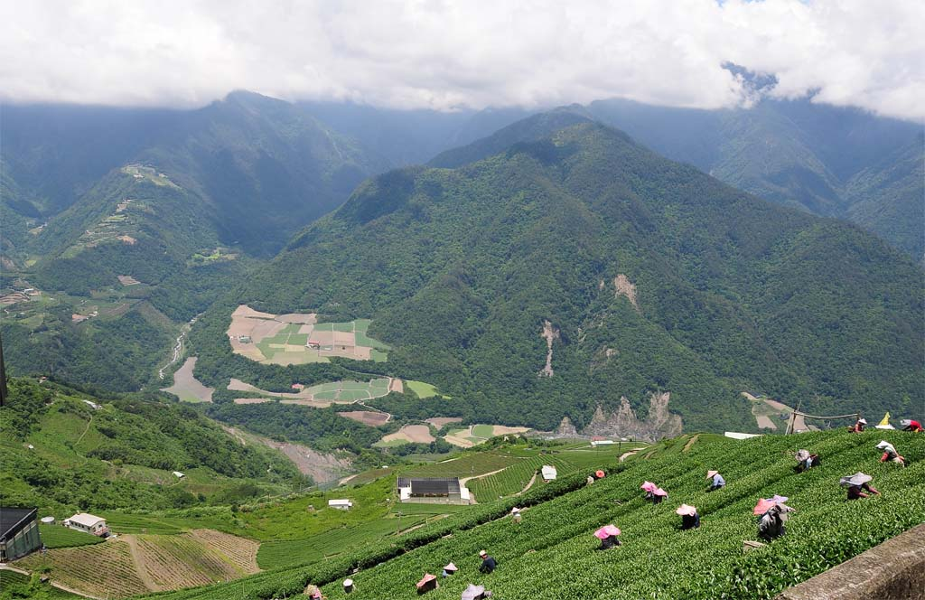 Wholesale Taiwan Tea